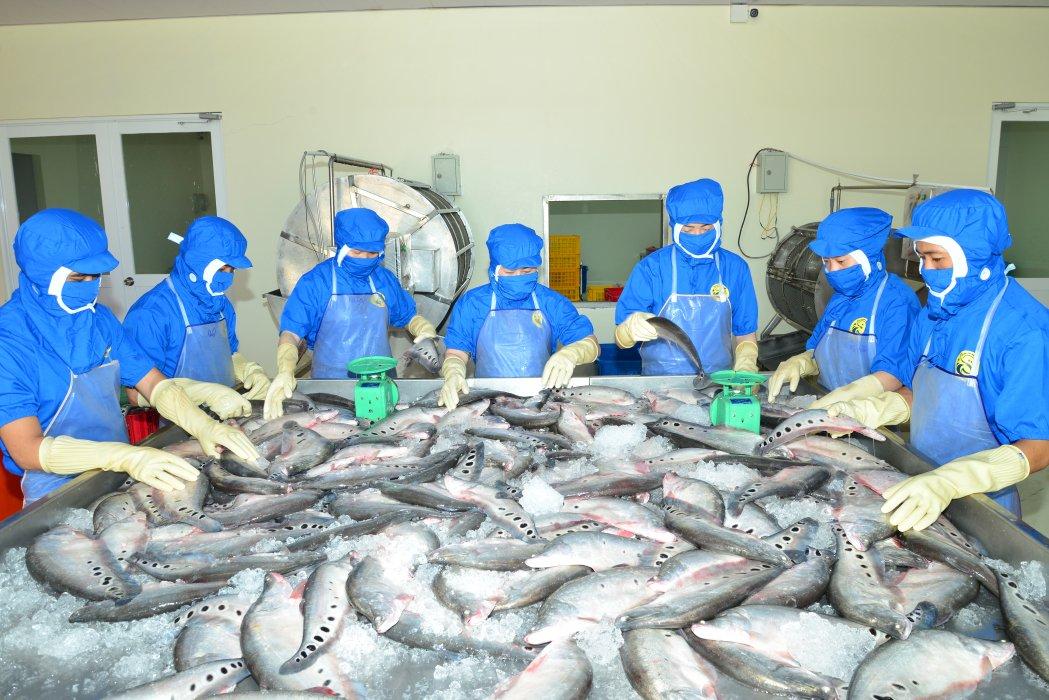 Sản phẩm cá thát lát tươi sống của Phạm Nghĩa Food