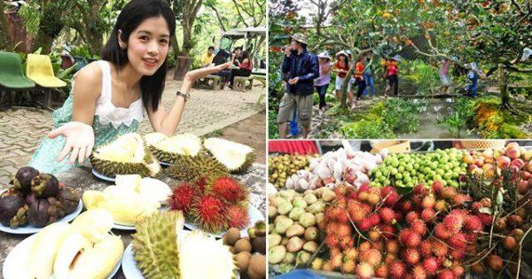 Du khách vừa tham quan vừa tự tay hái và thưởng thức trái cây đặc sản miền tây ngay tại vườn